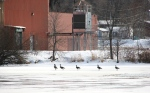 February in Faribault, MN, #6139 geese walking on Cannon Riverice