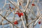 Minnesota outdoors, #6920 redberries