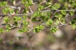 Minnesota outdoors, #6935 green leaves onbush