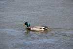 Signs of spring in MN, #7000 duck swimming