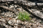Signs of spring in MN, #7005 patch of grass