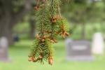 Cannon City Cemetery, #7817 pinecones