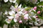 Mineral Springs Park, #7469 apple blossomsopen