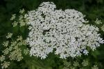 Nature, #8134 whiteflowers