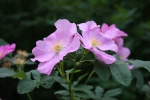Nature, #8176 two wildroses