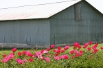 Peony gardens, #7951 against grey shed backdrop