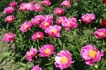 Peony gardens, #7962 row of pinkflowers