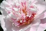Peony gardens, #7988 light pink peony upclose