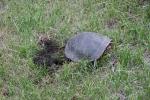 Turtle, #7887 turtle in grass furtheraway
