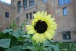 Garden, #9788 sunflower