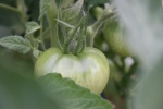 Garden, #9790 greentomato