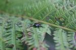 Japanese beetle, #9099 close-up onfern