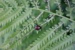 Japanese beetle, #9120 onfern