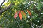 Nature, #114 sumacleaves