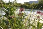 Nature, #86 milkweeds &pond