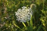 Nature, #93 whiteflower