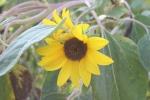 Atwood, #1008 sunflower