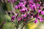 Atwood, #1017 purpleflowers
